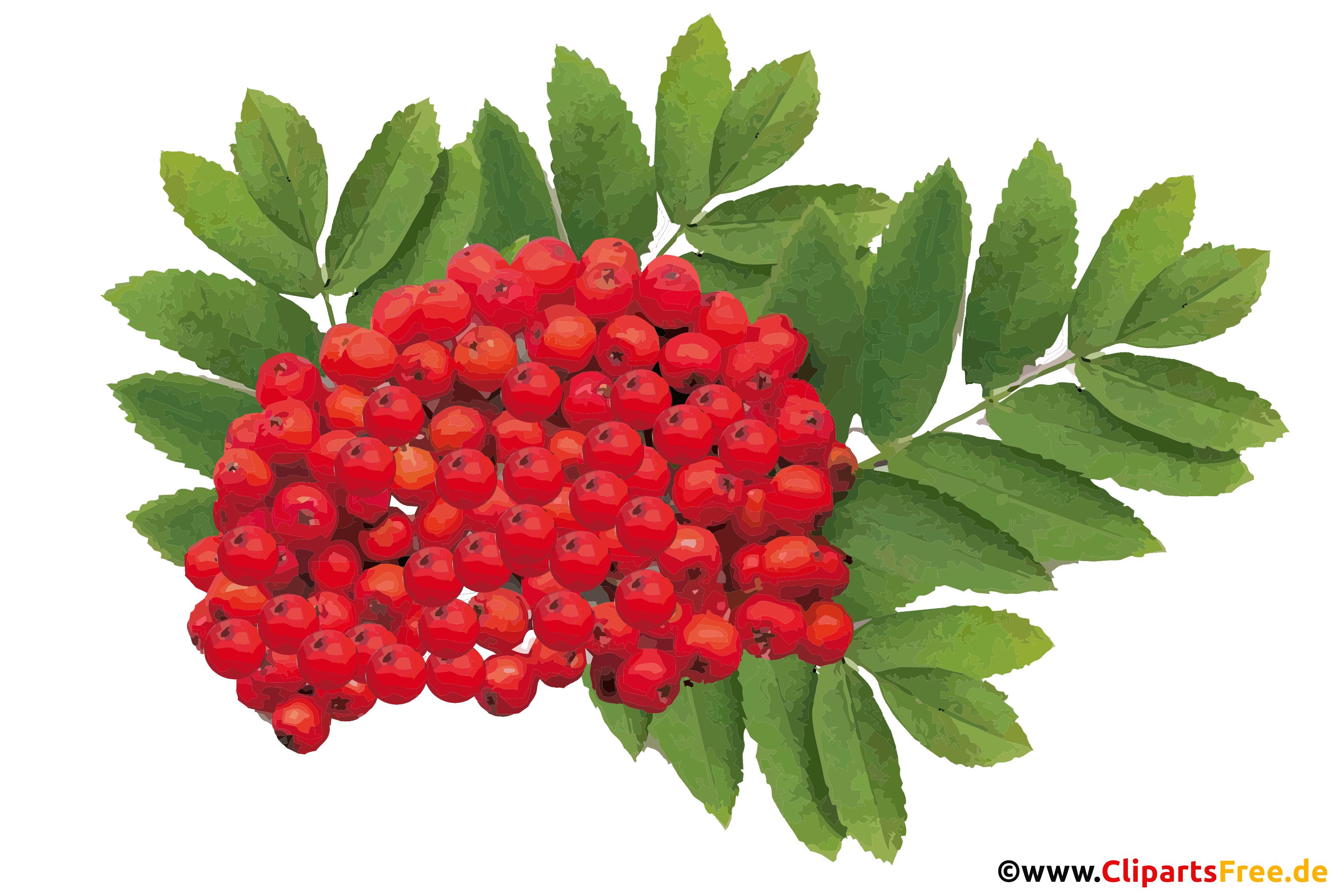 Eberesche rot Bild, PNG, Clipart