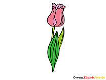 Tulpe Bild - Clipart
