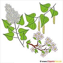Fruehling Cliparts kostenlos - Birke