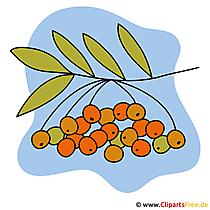 Rowan Clip Art - gratis afbeeldingen van de herfst