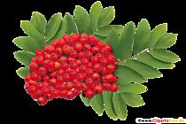 Cenușă de munte roșie Imagine, PNG, Clipart