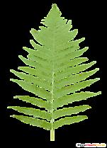 Clipă de Fern - Clipart Botanic, Imagini