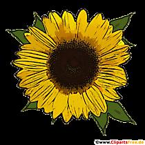 Frumoasă miniatură de floarea-soarelui transparentă