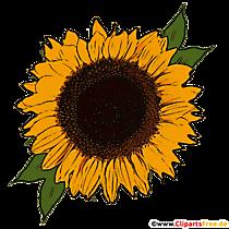 Floare de soare PNG Ilustrație cu fundal transparent
