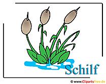 Schilf Bild-Clipart free